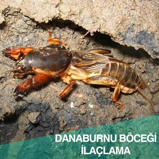 Danaburnu böceği ilaçlama